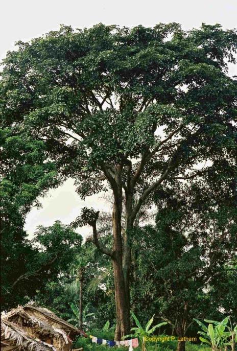 Дерево ироко
